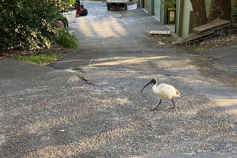 Golfing ibis