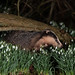 Badger in the snow drops