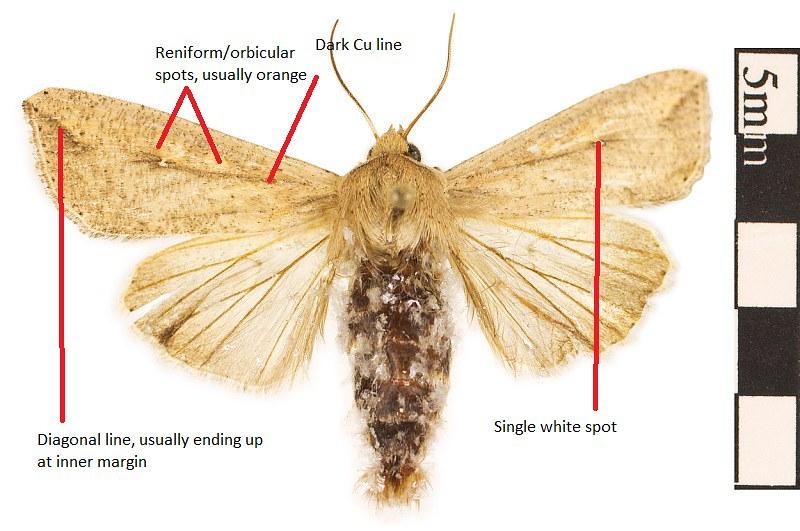 EO_024725_Owlet_Moth_Pseudaletia_unipuncta_001.jpg