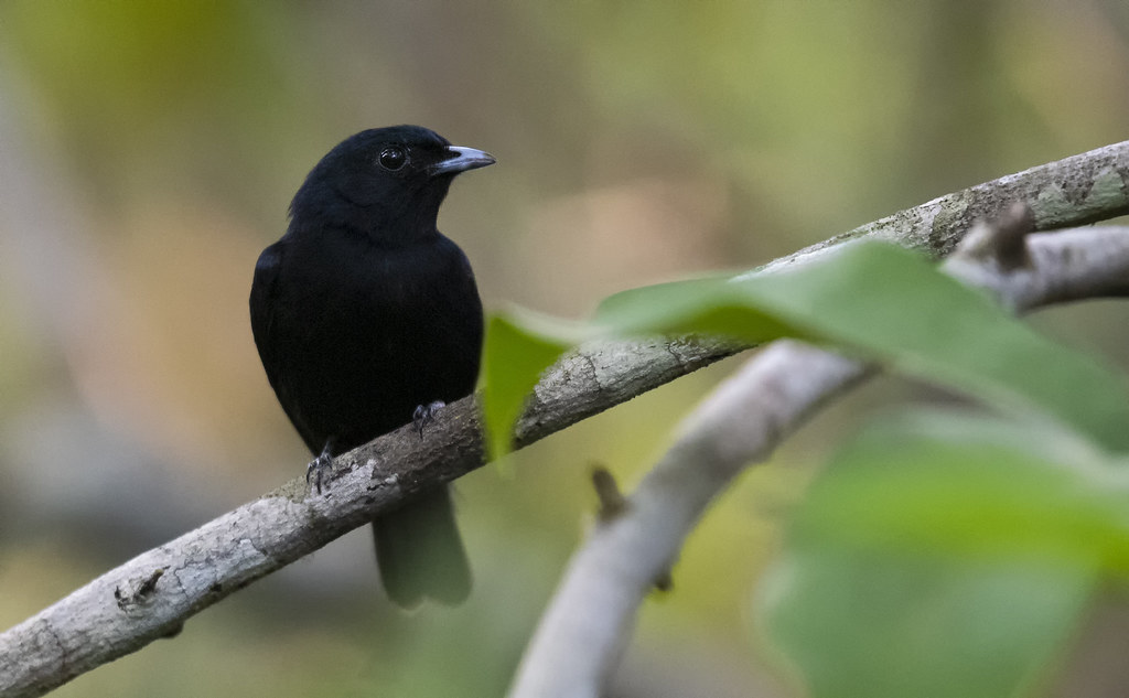 Xenopipo atronitens - Black Manakin - Saltarín Negro 04