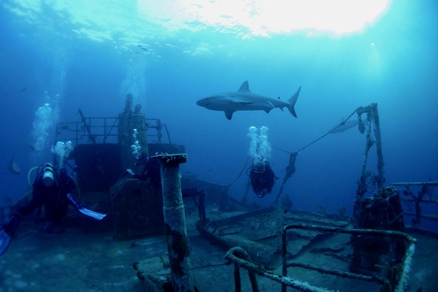 Grey shark and wreck