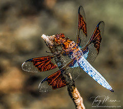 Dragonfly - adult male whitetail