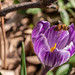 Krokus mit Biene - Crocus with  bee