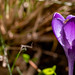 Krokus mit Biene und ihrem Schatten - Crocus with a bee and its shadow