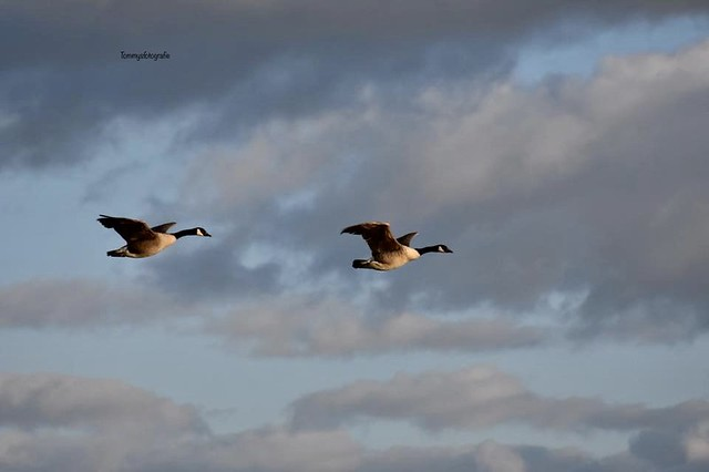 Canadian Goose in the evening light. Spring comes, they are going north. Photo taken near Gennep, Limburg, Netherlands