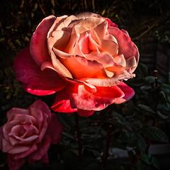 A Spring Rose