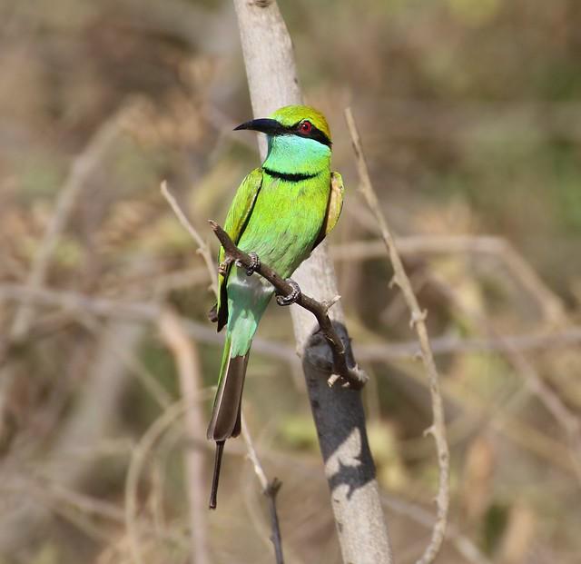 Sri Lankan  Green Bee Eater