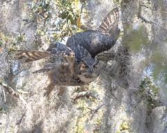 Owl Returning to Nest