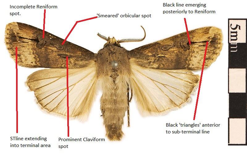 EO_021499_Black_Cutworm_Moth_Agrotis_ipsilon_001.jpg