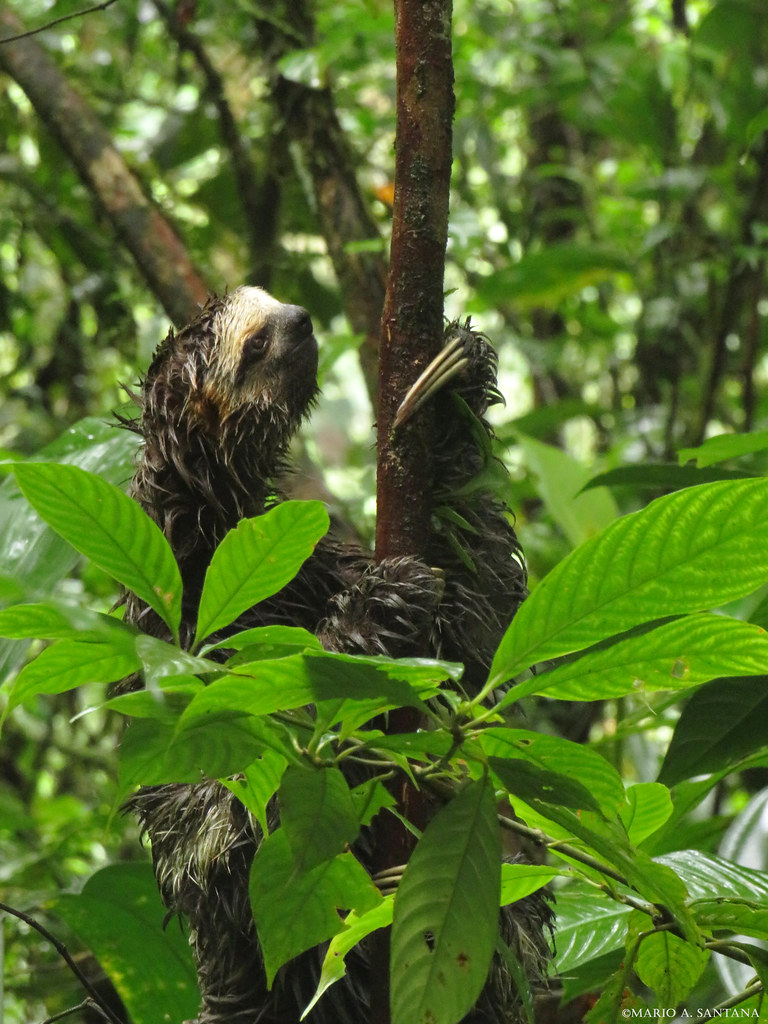 Bradypus variegatus | Perezoso de tres dedos