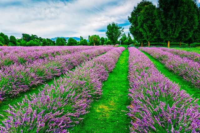 Purple Dominance