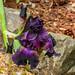 Stansberry Iris 04