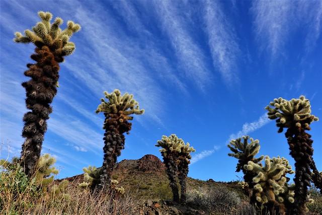 Cholla Cactus Group SR602223