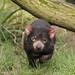 Beutelteufel (Lat. Sarcophilus harrisii) - Coorah