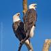 9B8A1536-Edit Eagle Pair Calling Out  - Explore