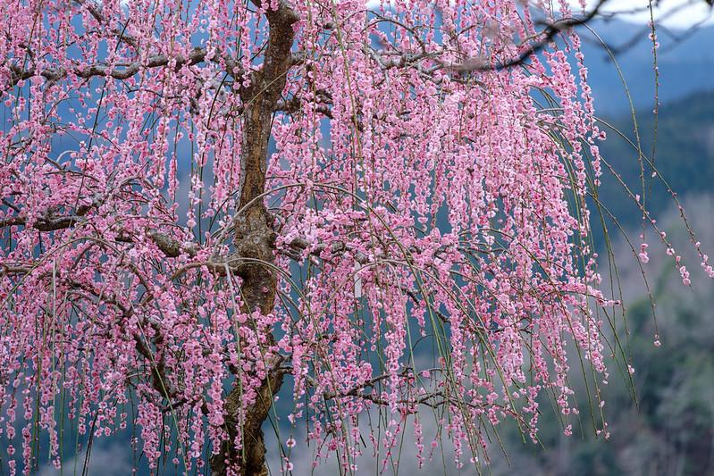 Plum blossoms bloom