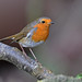 Rougegorge familier ( Erithacus rubecula - European Robin )