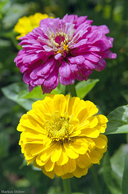 Yellow and Magenta