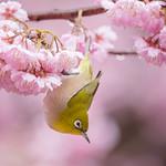 Japanese White-eye