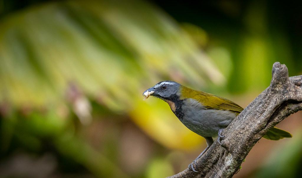 Buntkehlsaltator (Saltator maximus) in Costa Rica