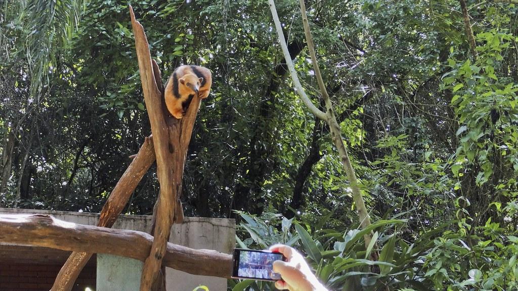 Tamanduá mirim posando (série com 3 fotos)
