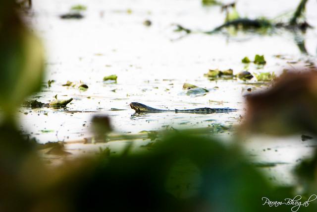 Stalker in the Water (PB2_8147)