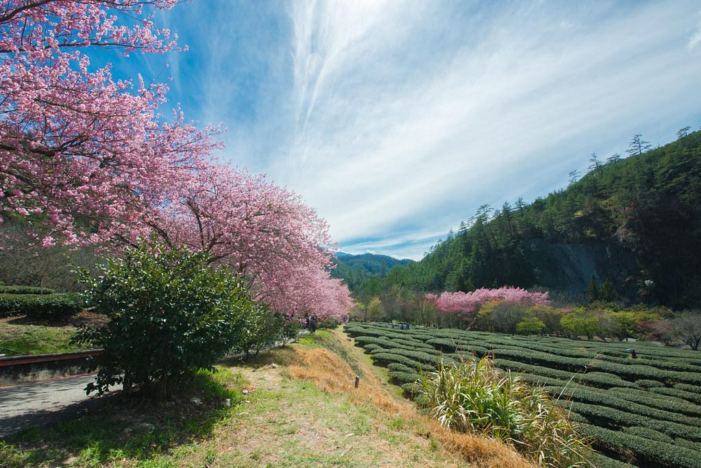 2020.Feb 武陵農場櫻花Wuling Farm