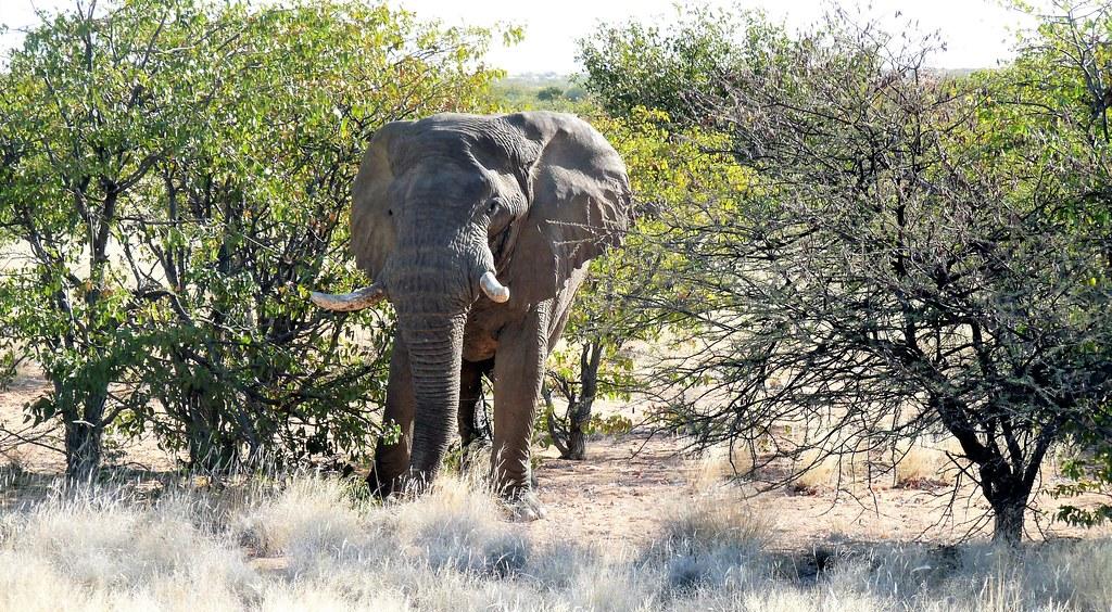 Namibia:  Desert Adapted Elephant, Damaraland