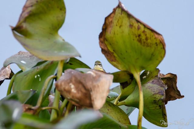 Green Warbler (PB2_8134)