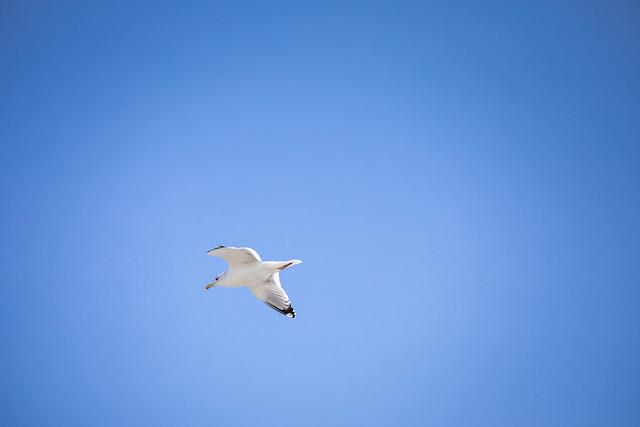 Common gull (Shirako, Chiba, Japan)