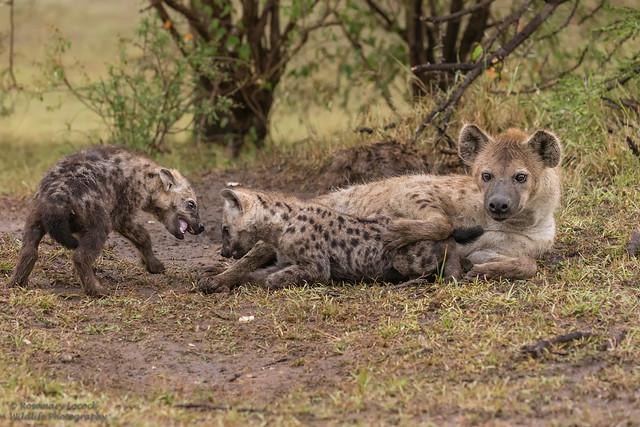 Hyena's - Hyaenidae