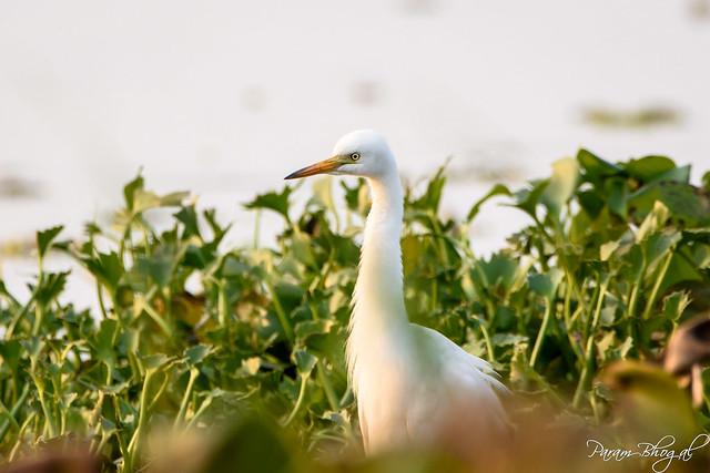 Median Egret (PB2_8150)