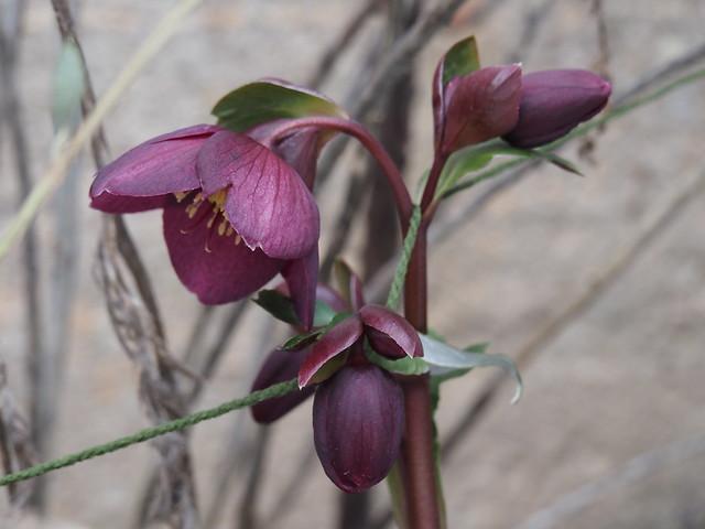 Helleborus cv.