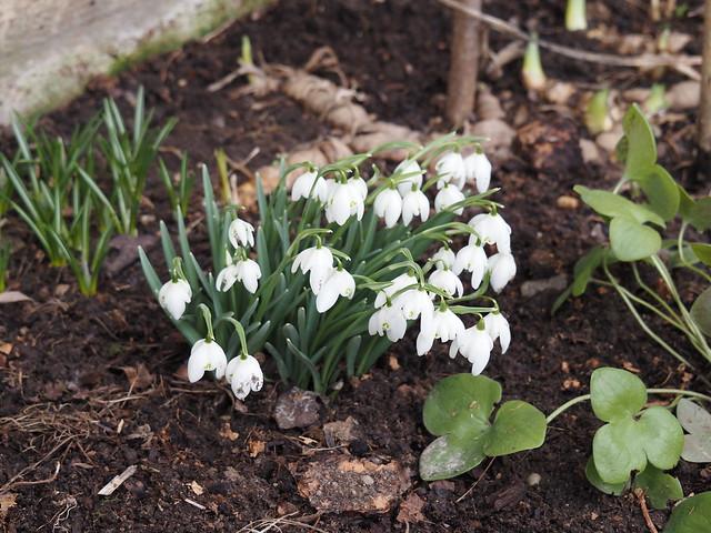 Galanthus nivalis 'Flore Pleno'