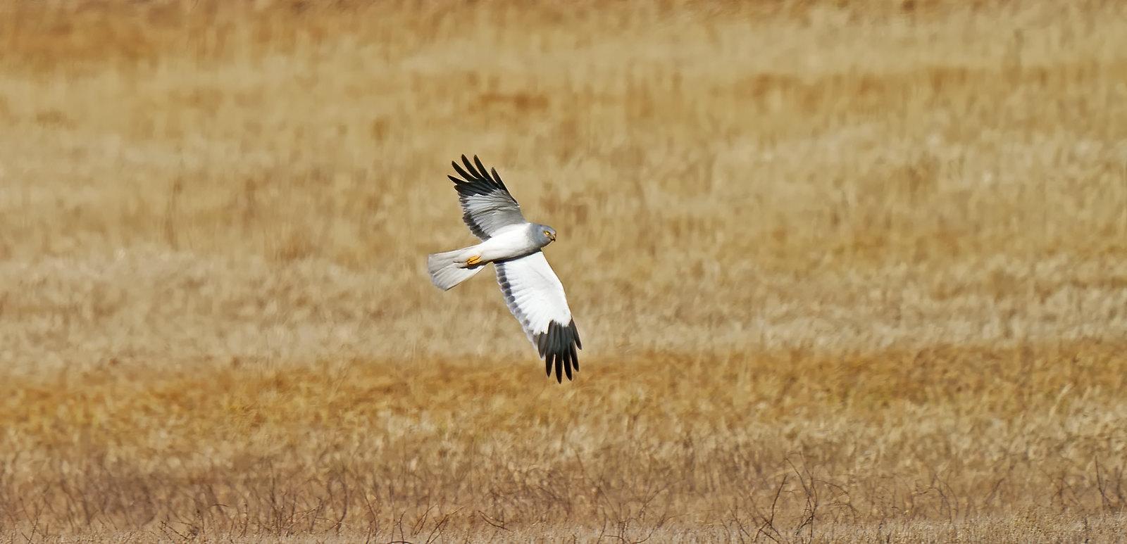 [Distant] Male Hen Harrier