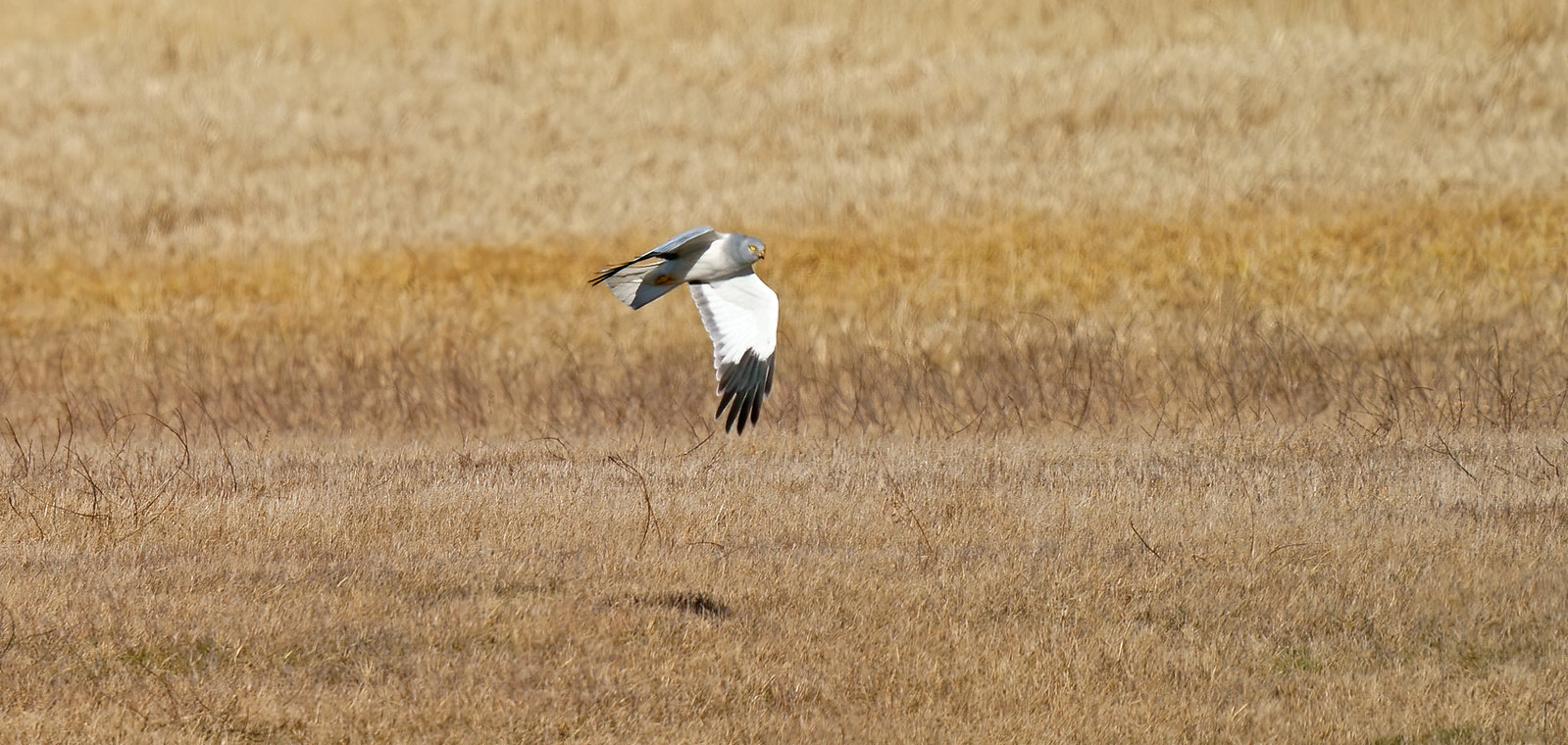 [Distant] Male Hen Harrier