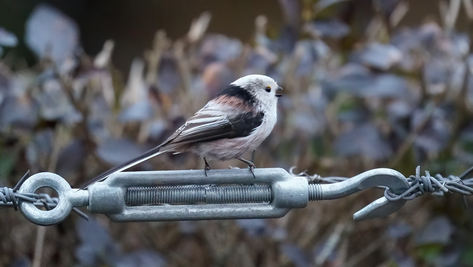 White-headed Long-tailed Tit -[high-ish ISO!]