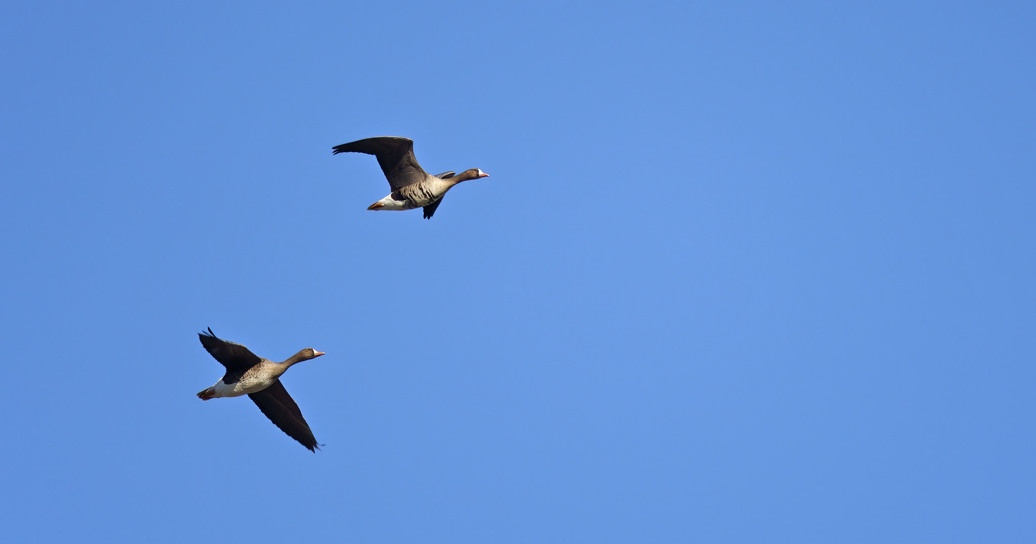 [European] White-Fronted Geese