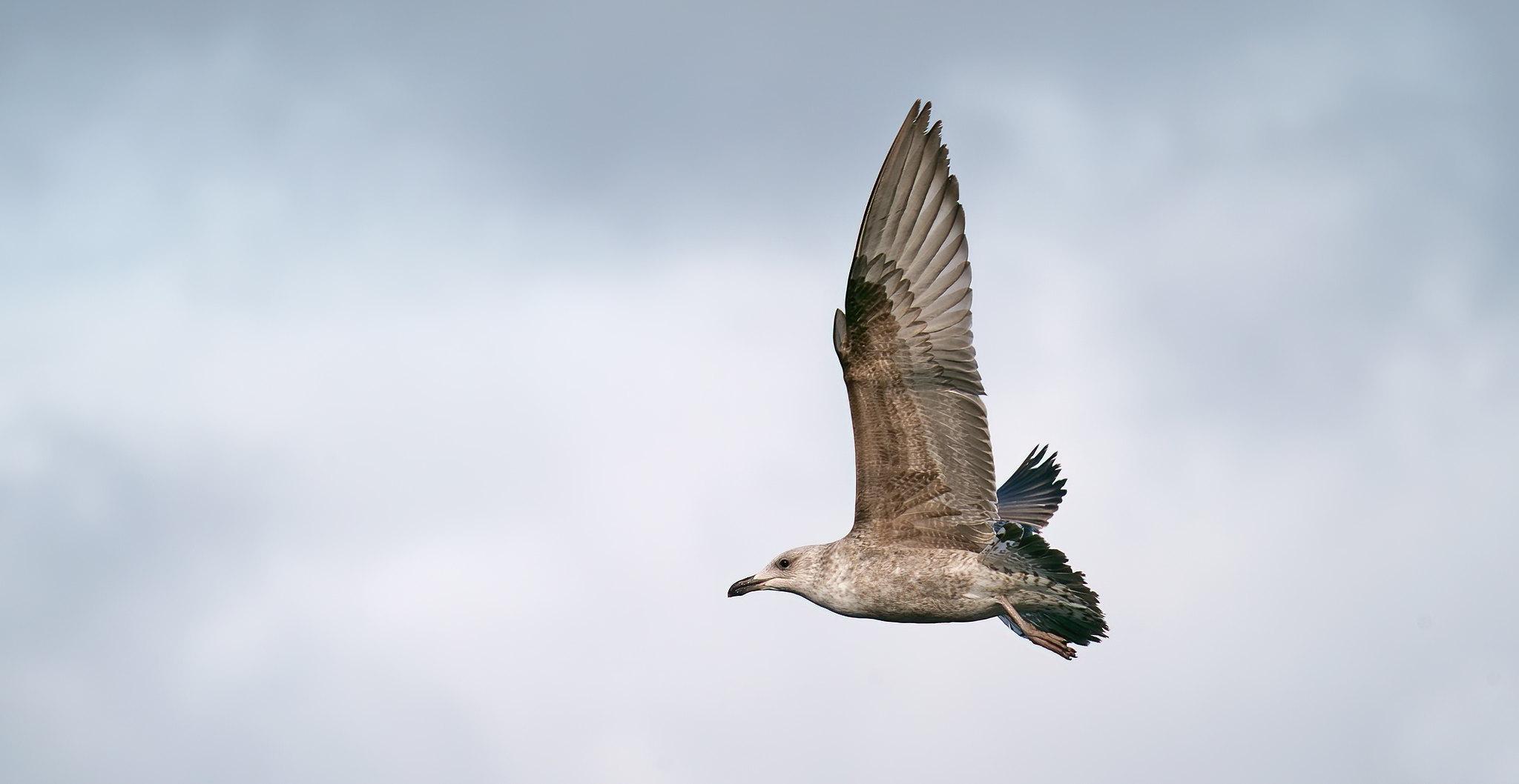Lesser BB Gull