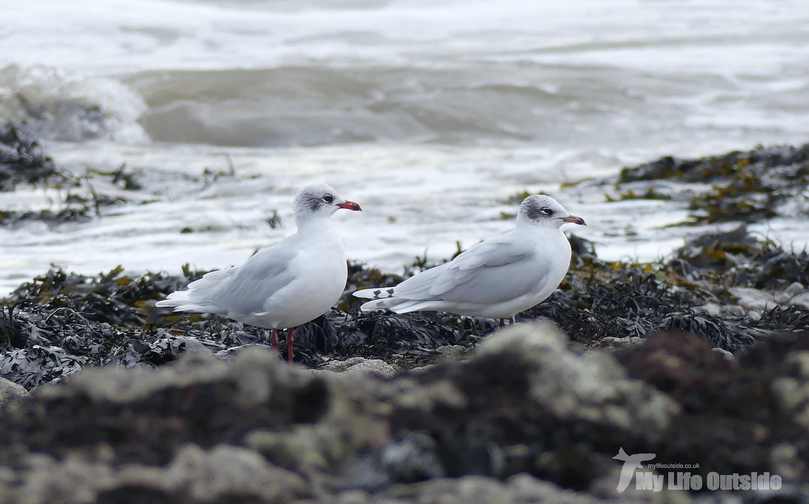 P1230496 - Mediterranean Gulls, Bracelet Bay