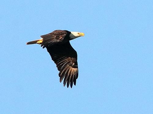 Bald Eagle 02-20200229