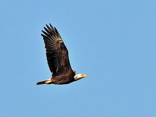 Bald Eagle 01-20200229