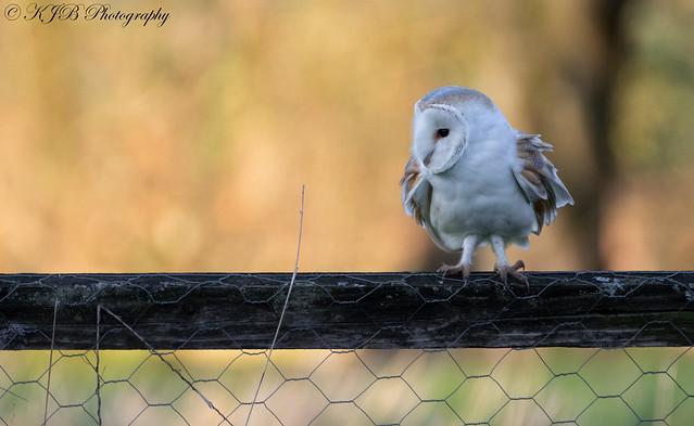 Barn Owl (Perched)