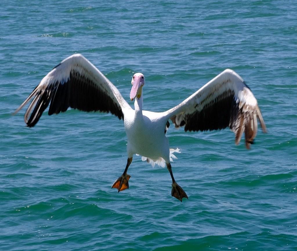 Pelikan5