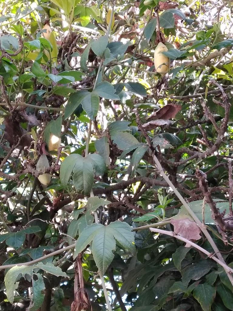 01167 Passiflora tarminiana, TAXO