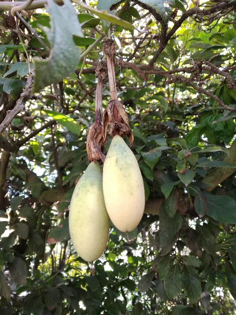 01169 Passiflora tarminiana, TAXO