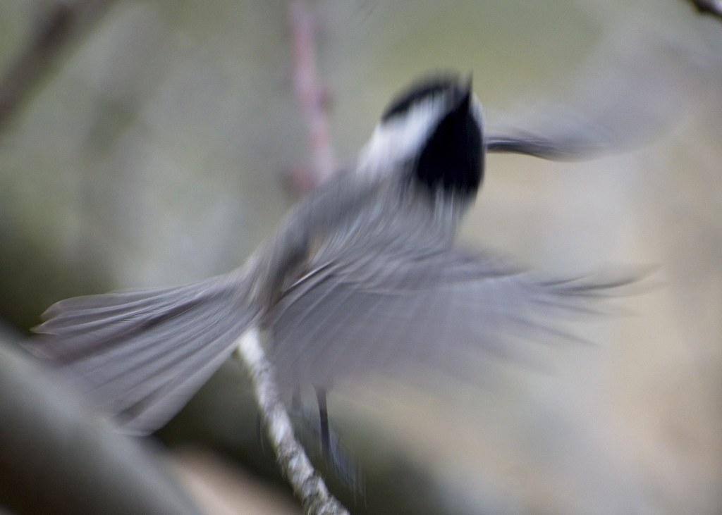 MY WORST PICTURE 2020 -- Phantom Chickadee: by Jim Swartwood 2/23/20 Jefferson County KY