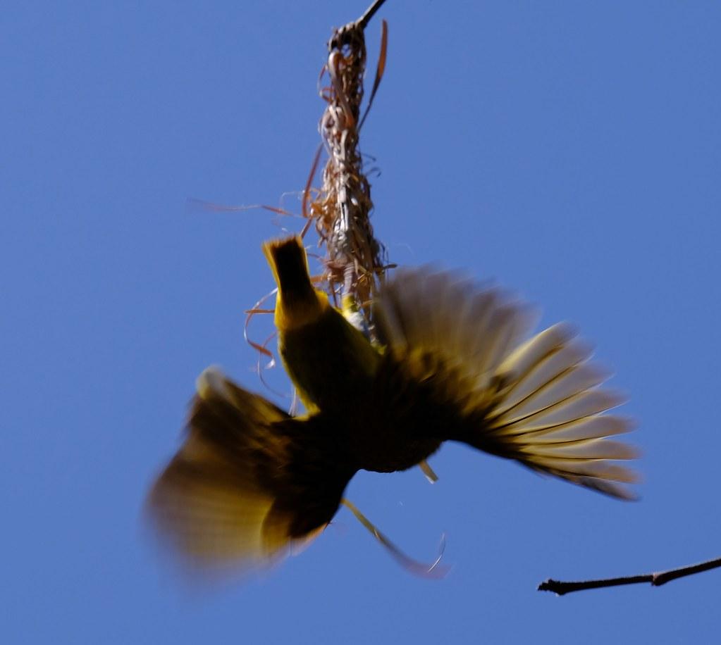 Webervogel2