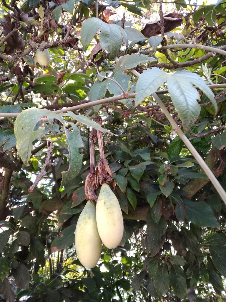 01168 Passiflora tarminiana, TAXO