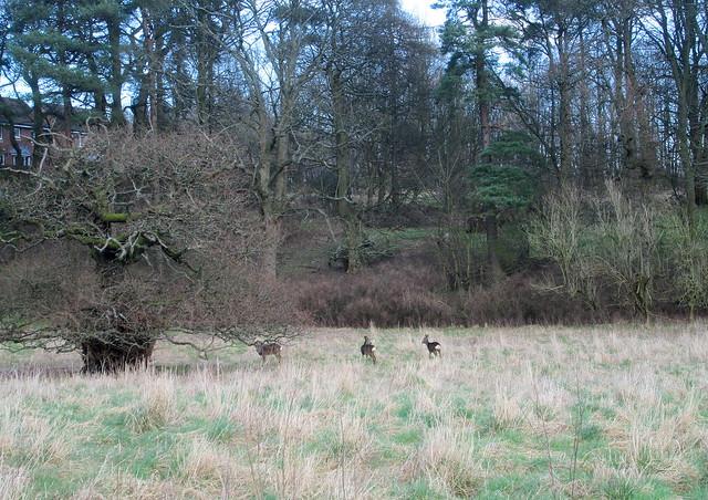 Deer, Balbirnie, Fife